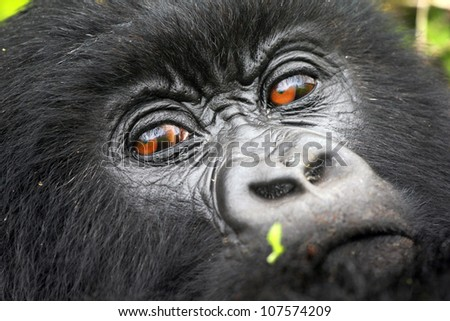One of the most endangered animals, the Mountain Gorilla. In the wilds of the Virunga Mountains between the Congo and Rwanda. This female is part of the Susa Group, studied by Dian Fossey.