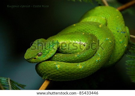 one of the rearrest and most dangerous snakes in Costa Rica