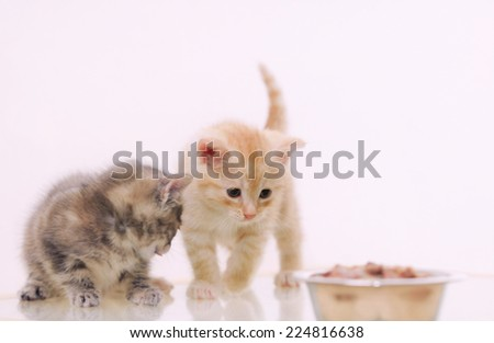 one of two adorable furry kitten observing cat food from the bowl on background, happy animal concept