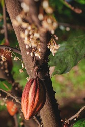 One orange cacao pod hang on tree in blurred background