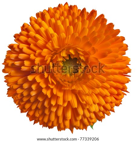 One orange flower head  of calendula Officinalis, close up Isolated on white