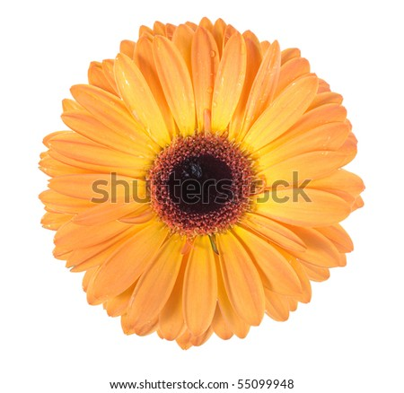 One orange flower with dew isolated on white background. Close-up. Studio photography.