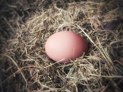 One organic raw egg on hovel in the chicken farm between chaffs. Egg prices are increasing in Turkey.