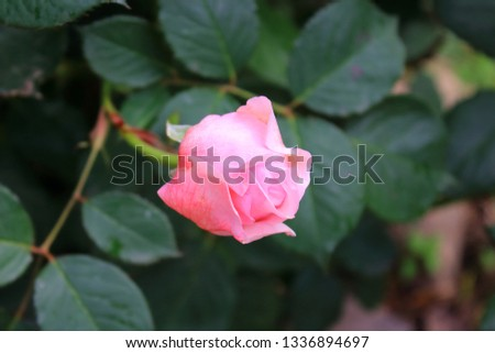 One pale pink rosebud on the green blurred background. Rosebuds in the garden #1336894697