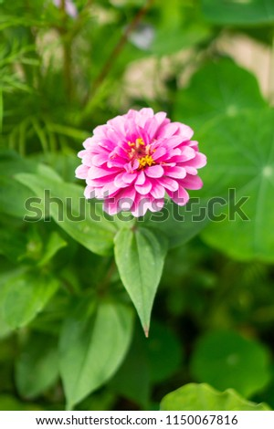 One pink beautiful flower with many petals and green leaves with soft focus background #1150067816