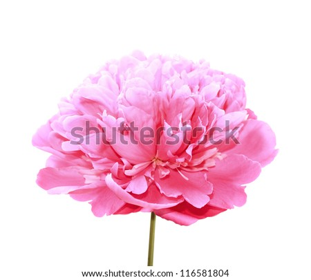 One pink peony isolated on white background