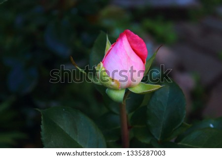 One pink rosebud on the green blurred background. Rosebuds in the garden #1335287003