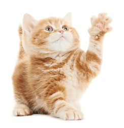 One Playing british shorthair red kitten cat isolated