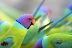 One Plum-headed Parakeet in a crowd.