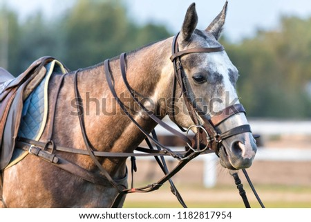 One pony horse, gray with red, participating in a game in a horse polo costs quietly. The horse is equipped for a game. Zdjęcia stock ©