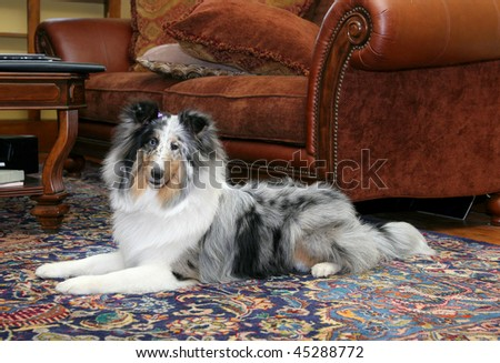 one pretty Sheltie dog head shot portrait in a living room natural setting