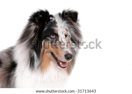 one pretty Sheltie dog headshot portrait over white - stock photo