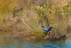 One Pukeko or swamp hen with its red bill foraging in reeds on water edge