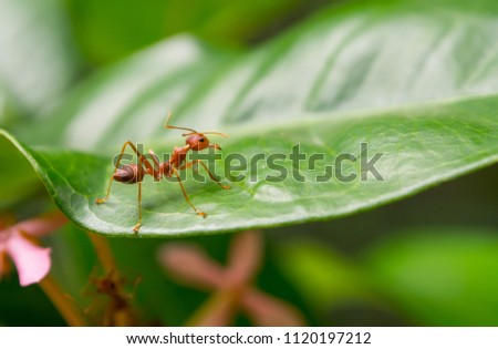 One red ant macro photography on green leaf. #1120197212