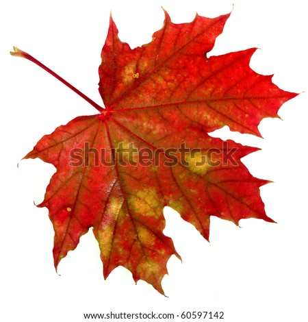 one red autumn leaf isolated on a white background