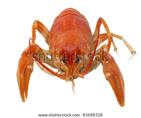One red boiled crawfish closeup, isolated on a white background