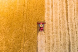 one red combine harvest wheat in the field. Top view. Harvesting machine working in the field. Top view from the drone