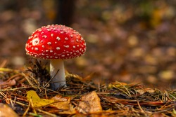 One red fly mushroom or toadstool in autumn forest & sunlight on leaves background. Amanita muscaria (fly agaric) poisonous white spotted red mushroom. Wild forest fly mushroom in autumn pine needles