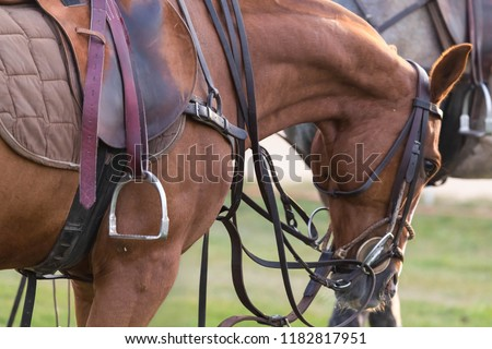 One red horse of a pony participating in a game in a horse polo costs quietly. The horse is equipped for a game. Zdjęcia stock ©