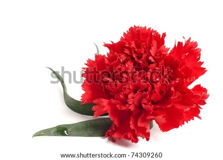 One red pink flower. Image isolated over pure white background