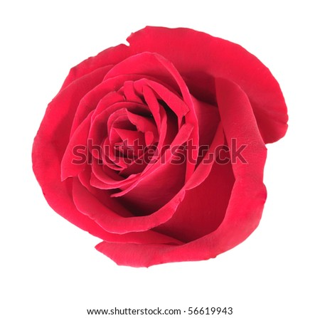 One red rose isolated on white background. Close-up. - stock photo