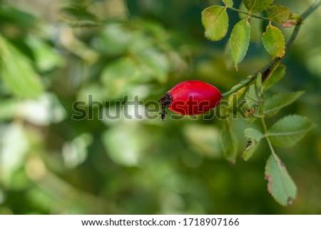 One red rosehip fruit, scientific names: rosa acicularis lindl., rosa canina L., rosa cinnamomea L., rosa rugosa thunb