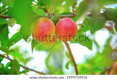 One red round cherry plum on a branch. Red mirabelle plum Prunus domestica . Blurred green background. red juicy ripe plum, cherry plum grows on the tree. Selective focus