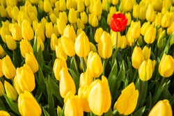 one red tulip among a set of yellow tulips. Selective focus, the concept of uniqueness, singularity and difference