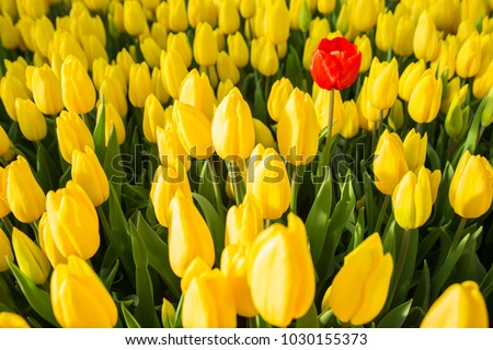 one red tulip among a set of yellow tulips. Selective focus, the concept of uniqueness, singularity and difference Foto stock ©