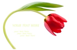 One red tulip isolated on white. Copy space for your text