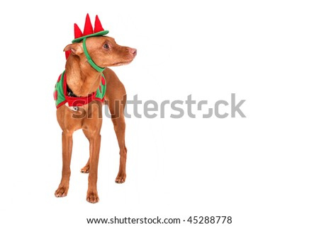 one reddish miniature doberman dressed in a dinosaur costume over white