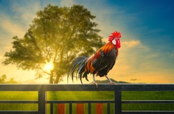one rooster on house fence in the morning