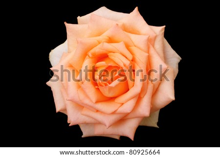 One rose isolated on a black background. Floral background