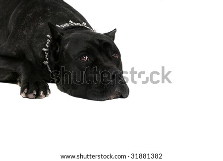 one sad looking very large black mastiff laying down headshot over white