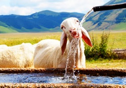 One sheep drinking water