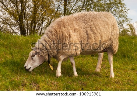 One sheep in winter coat is grazing on a dike in the Netherlands.