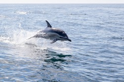 One short-beaked common dolphin jumps out the water with splashes and shadow is beneath it