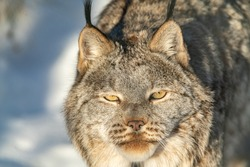 One, single, alone Canadian lynx staring directly at camera with yellow orange bright eyes in full daylight during winter with snow out of focus.