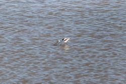 One single American avocet (Recurvirostra americana) foraging in shallow water at Edwin B. Forsyth National Wildlife Refuge, New Jersey, USA