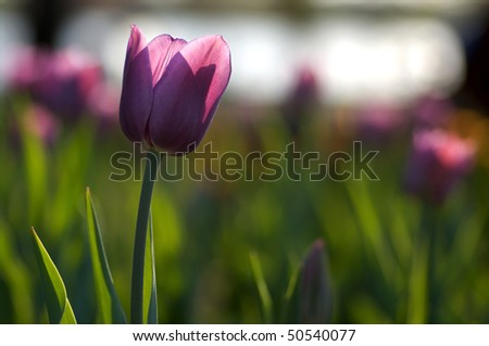 One single purple tulip