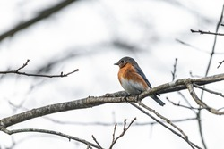 One single small bluebird female brown orange bird sitting perching closeup on tree during winter in Virginia bare branch side view