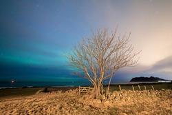 One single tree and aurora borealis in the skye.