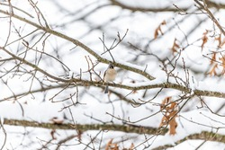 One single tufted titmouse titmice bird sitting perched on tree branch during heavy winter snow colorful in Virginia with snow flakes
