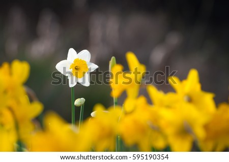 One single white daffodil in the middle of yellow daffodils against dark blurry background; Vibrant spring flowers; Happy Easter greeting card #595190354