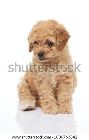 One sitting cute poodle dog isolated on white background #1006763842