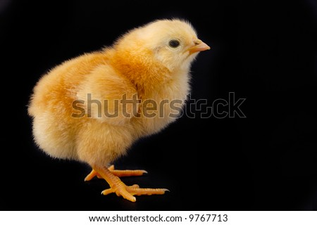 One small chicken a over black background