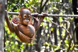 One small cute baby orangutan hanging on a rope in National Park in Sabah, Borneo, Malaysia