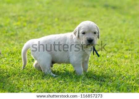 One small gold labrador retriever standing on the green grass background, small nice puppy dog