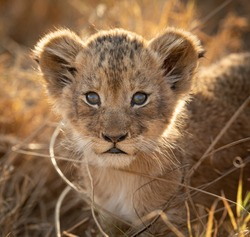 One small lion cub backlit portrait close up on face in warm afternoon light in Kruger Park South Africa