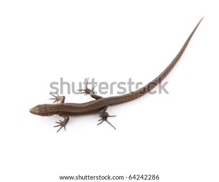 stock photo   one small lizard
